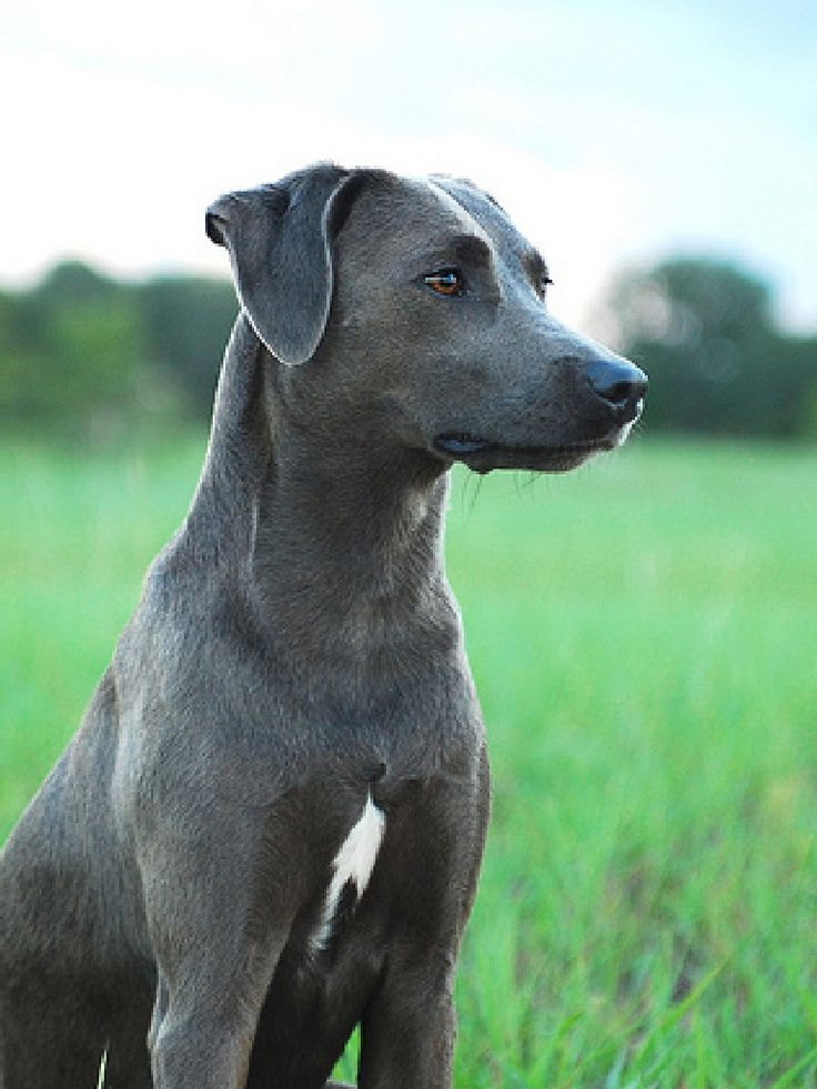 Blue Lacy Dog Puppy Blue Lacy Dog Dog Breeds Blue Lacy