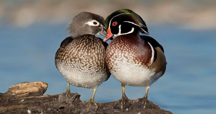 The Wood Duck is one of the most stunningly pretty of all waterfowl. Males are iridescent chestnut and green, with ornate patterns on nearly every feather; the elegant females have a distinctive profile and delicate white pattern around the eye. These birds live in wooded swamps, where they nest in holes in trees or in nest boxes put up around lake margins. They are one of the few duck species equipped with strong claws that can grip bark and perch on branches.