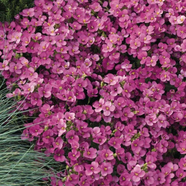 Семена цветов Арабис Лотти, дип роуз