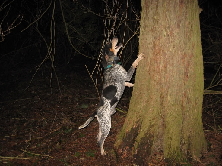 Coon hunting, or raccoon hunting for the sensitive people