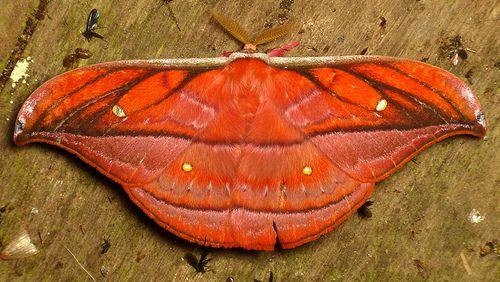 Saturniid Moth, Copaxa ignescens