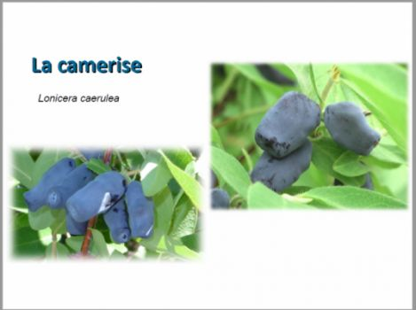 La camerise en images! - Boréalis Nature Fruit