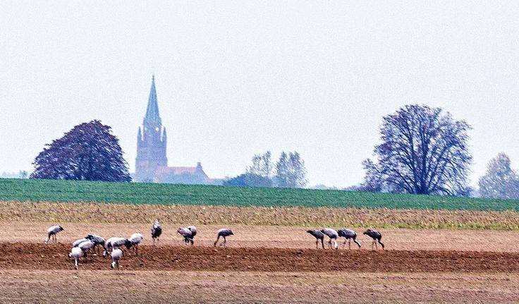Kranichbeobachtungen auf den Feldern an der Müritz | Kraniche auf den Feldern bei Röbel (c) Frank Koebsch (3)