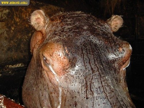 """Hippo's excrete """"Blood Sweat"""" 