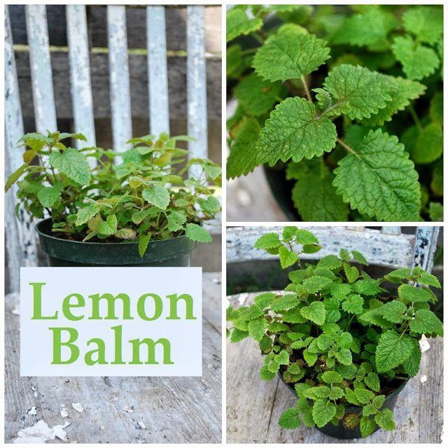 Five ways to use lemon balm