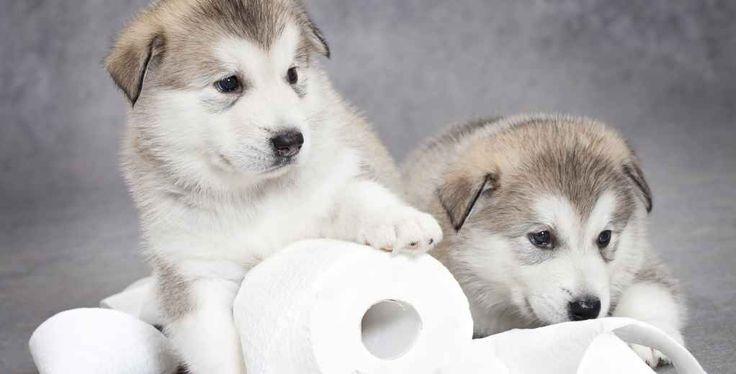Een pup zindelijk maken is niet de meest eenvoudige klus. Er zijn pups die het heel snel onder de knie hebben, maar het kan ook zijn dat je maanden bezig bent met de zindelijkheidstraining.