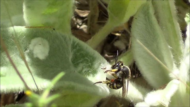 "European wool carder bee (""Wool gathering"")"