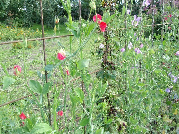 Westersin puutarha, Heli Koivisto