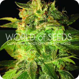 Sugar Mango Ryder - strain - World of Seeds | Cannapedia