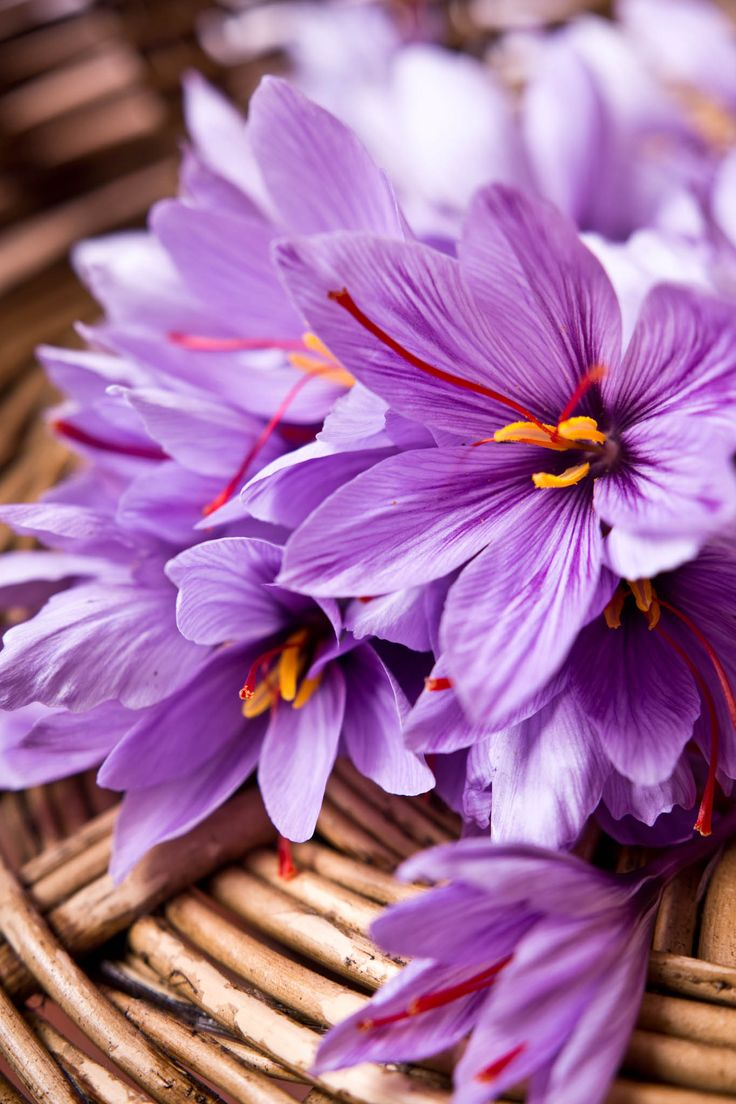 Freshly collected basket of saffron (crocus sativus) flowers grown in my garden CROP.fr