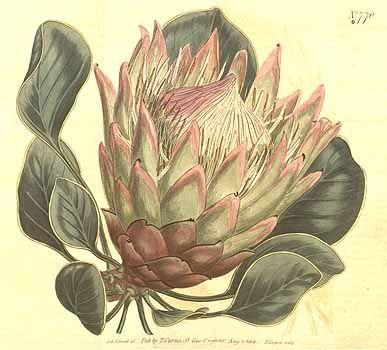 1877 Protea cynaroides (L.) L. / Curtis's Botanical Magazine, vol. 20: t. 770 (1804) [S.T. Edwards]