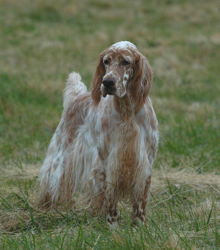 National Dog Show Setter Group