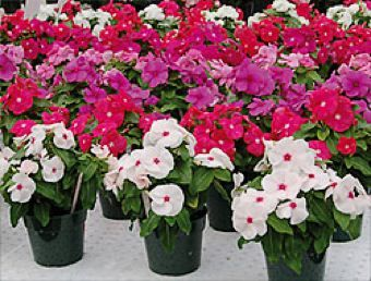 Vinca! The easiest flower to grow in full sun and doesn't need much care. Annual and drought resistant.
