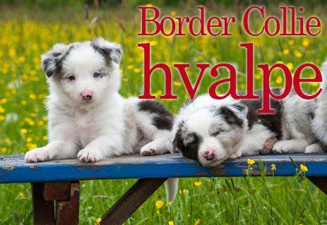 Border Collie hvalpe