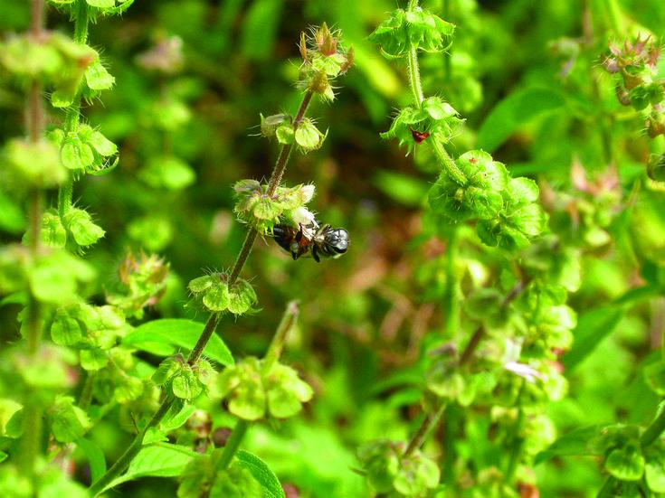 Holy Basil // Ocimum tenuiflorum // Awkward Botany