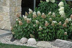 Quick Fire Hydrangea (Hydrangea paniculata