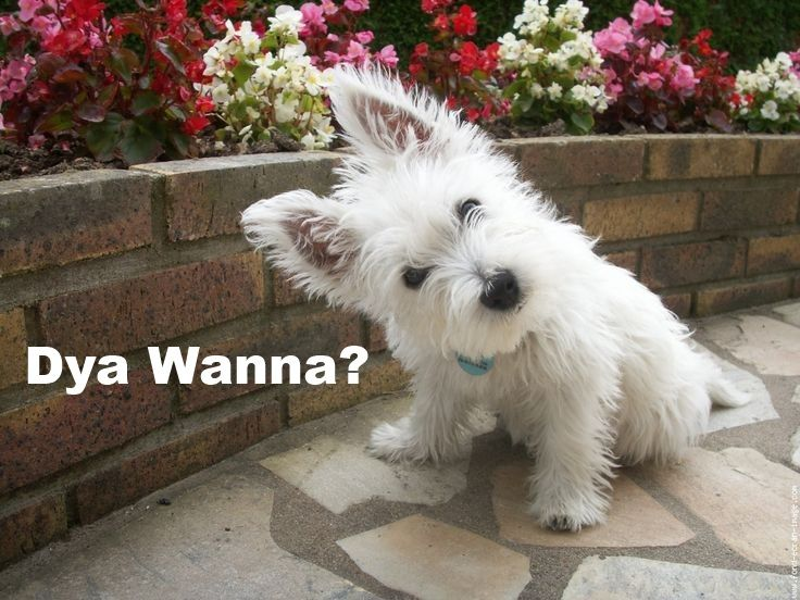 e3e81cfc9a16129708a7f1ed278acaa8 say what do you know what 11 best westie memes images on pinterest puppies, doggies and