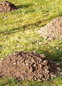 Wühlmäuse im Garten - was tun?   Der Gärtner nimmt Fallen, andere haben Erfolg mit Tierhaaren oder Pfefferminzöl, die sie in die Gänge stopfen/sprühen ... http://www.gartenprobleme.de/Gartenprobleme_M_-_Z/Wuhlmause_-_was_tun_/wuhlmause_-_was_tun_.html