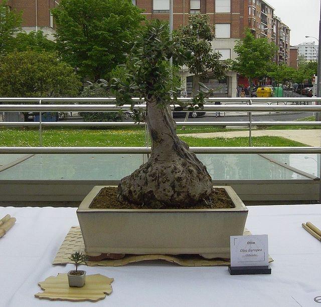 BONSAI DEL NORTE - Exposición de Primavera 2012: BBE - EXPOSICIONES