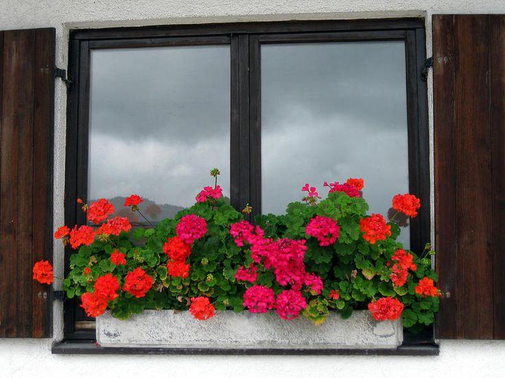 Как правильно ухаживать за геранью, чтобы радовала пышным цветом — В Курсе Жизни