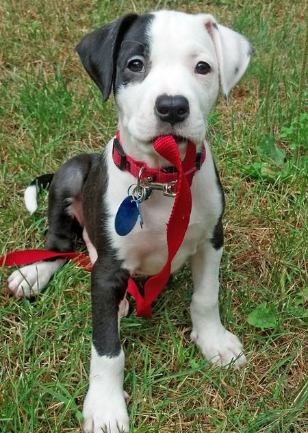 Ray the Boxer Mix -- Puppy Breed: Boxer / Labrador Retriever