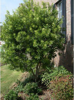 Wax myrtle fast growing evergreen full sun - Fastest growing ornamental trees ...