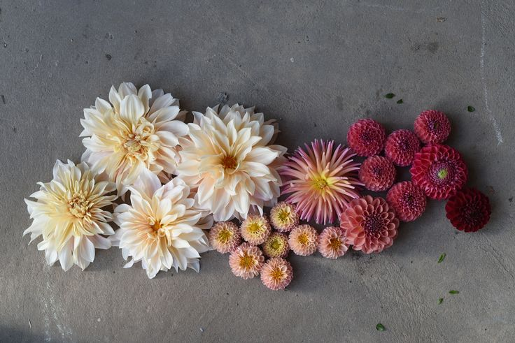 Dahlias, Cafe au Lait, Little Peaches, Breannon, Dinner Plate, small button, red Ball, peach, apricot, cream