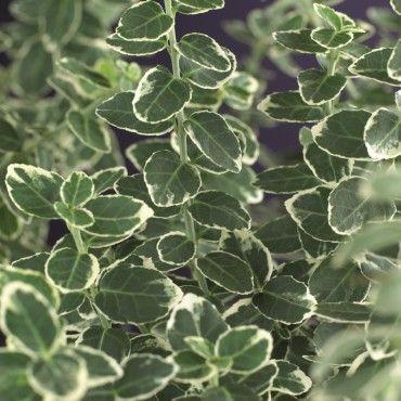Kardinaalsmuts (Euonymus fortunei 'Emerald Gaiety')
