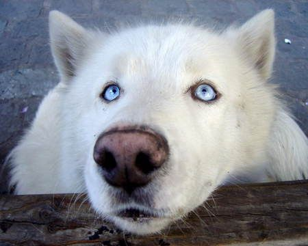top 25 ideas about white wolves �� on pinterest a wolf
