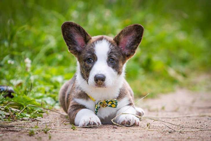 Cardigan Welsh Corgi Dog Breed Information Cardigan Welsh Corgi Puppies Corgi Puppies For Sale Corgi Dog Breed