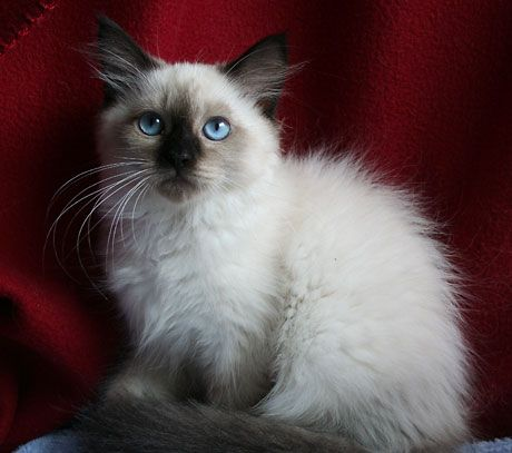 Hypoallergenic Cats for Adoption   Siberian kittens sale classified by lmunchrath - Siberian Kittens ...