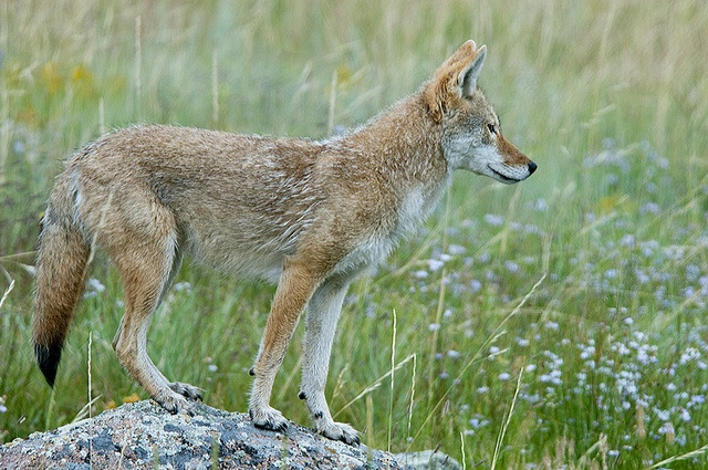 Best 25+ Coyote Hunting Ideas On Pinterest