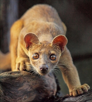 Fossa, a cat-like, carnivorous mammal that is endemic to Madagascar. It is a member of the Eupleridae, a family of carnivorans closely related to the mongoose family