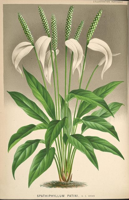 L'Illustration horticole :. Gand, Belgium :Imprimerie et lithographie de F. et…