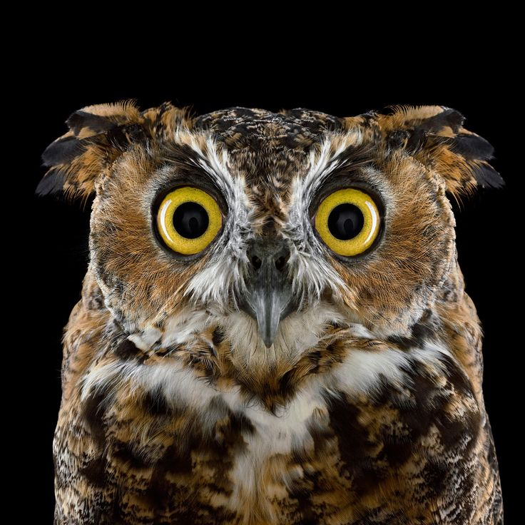 Great Horned Owl http://www.audubon.org/magazine/january-february-2015/whos-who?utm_source=engagement&utm_medium=email&utm_campaign=2015-02-11_email_wingspan