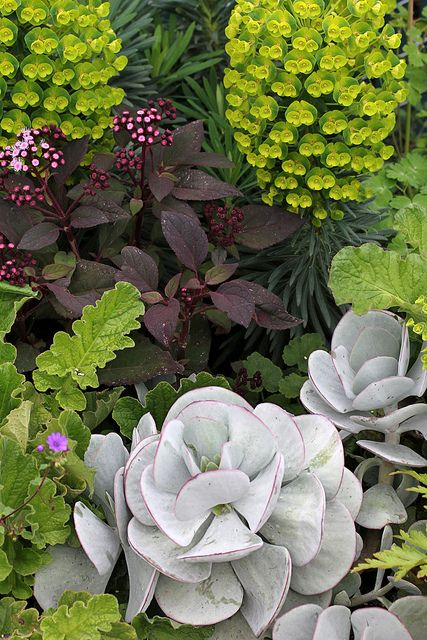 Green, purple, gray: Euphorbia characias 'Dwarf' (backmost), Eupatorium sordidum (purple), Cotyledon orbiculata (gray).
