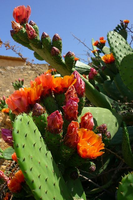 Flor de cactus, Chumberas.  Photo: calafellvalo via Flickr                                                                               Más