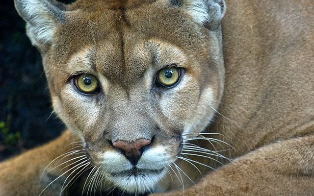 felines | highly threatened Florida panther (Puma concolor coryi). © Carlton ...