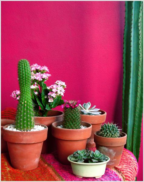 Cacti against a vivid wall.