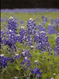Lupinus texensis (Texas bluebonnet) | NPIN