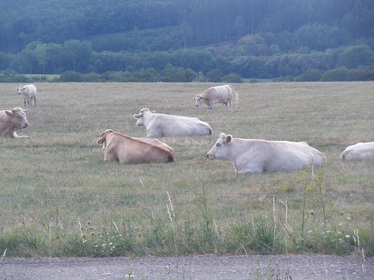 kravičky-pasinek nad Bojkovicama