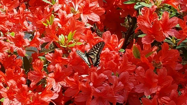 아카시아꽃/찔래꽃/작약꽃/장미꽃/영산홍과 나비