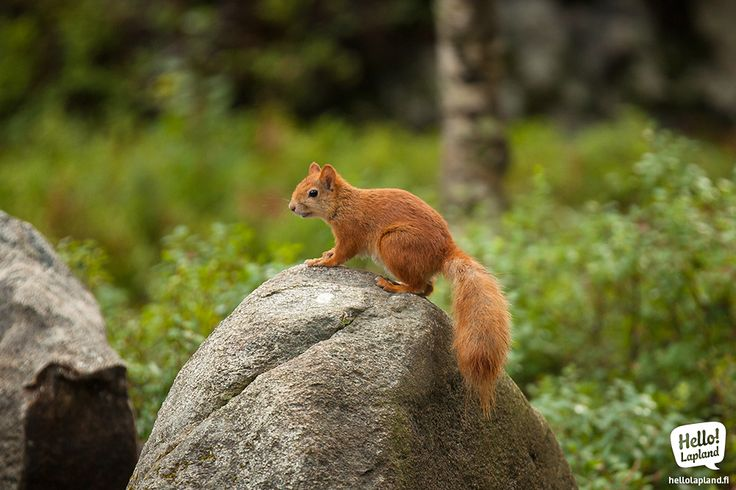 A squirrel in Ranua Zoo in Southern Lapland.