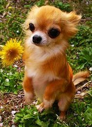 Cute Chihuahua, awww, this Chihuahua looks like my dog foxy, though we still don't know what breed of dog he is exactly.