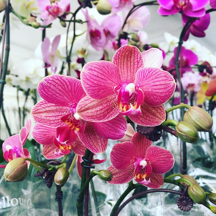 """79 Likes, 1 Comments - Marvellous Orchid (@marvellousorchid) on Instagram: """"Weekly favorite 💗✨😻 @marvellousorchid we have a impressive range of exotic and exciting colour!…"""""""