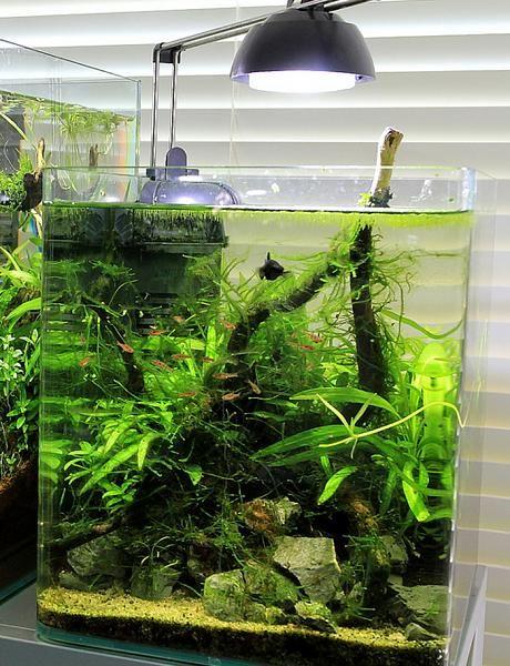 Low tech aquascape with a school of boraras Aquascapes Pinterest