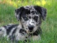 catahoula leopard dog puppies - Sök på Google