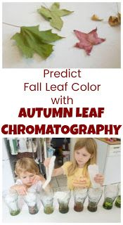 How to Use Leaf Chromatography to Predict Fall Leaf Color - Life with Moore Babies