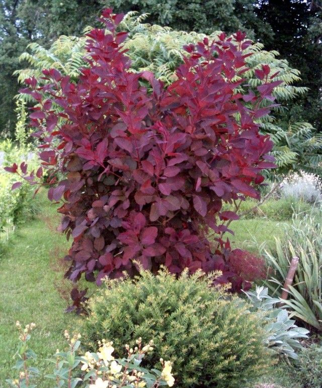Cotinus 39 grace 39 landscaping ideas garden plants back - Stein s garden home green bay wi ...