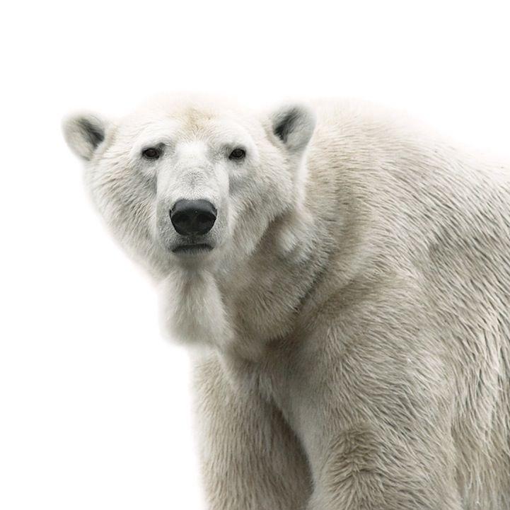 Best Morten Koldby Images On Pinterest Animal Portraits Bear - The most striking animal portraits youll ever see by morten koldby